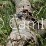 Hoplia coerulea habite la Réserve Naturelle Nationale de la Forêt de la Massane comme de nombreuses autres espèces. La réserve est l'une des plus anciennes de France. Elle a été créée en 1973. D'une surface de 336 ha, elle compte plus de 8000 espèces inventoriées ce qui en fait l'un des sites les plus étudiés du monde. Elle est l'écrin d'une forêt de hêtres, emblématique par son vieil âge et sa libre évolution. Elle est aussi une relique glacière, c'est-à-dire que certaines des espèces présentes sont des vestiges de la dernière période glacière. Alors, la diversité génétique que l'on y trouve est particulièrement importante et constitue un patrimoine biologique exceptionnel qu'il convient de protéger jalousement.